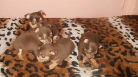 Foto 6 Chihuahua Welpen in attraktive Farben