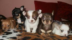 Foto 7 Chihuahua Welpen in attraktive Farben