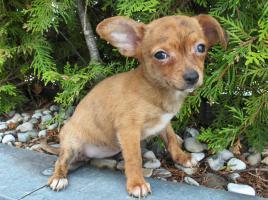 Foto 3 Chihuahua Welpen kurzhaar