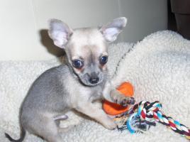 Foto 2 Chihuahua Welpen kurzhaar ''Mini''