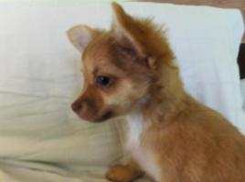Chihuahua Welpen langhaar 12 Wochen alt