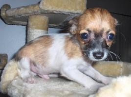 Foto 2 Chihuahua Welpen langhaar 12 Wochen alt