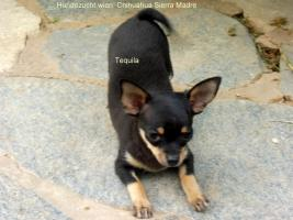 Foto 2 Chihuahua Welpen aus österreichischer Hobbyzucht