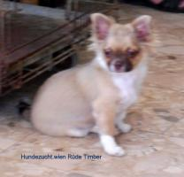 Foto 3 Chihuahua Welpen aus österreichischer Hobbyzucht