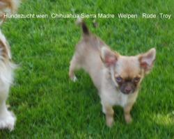 Foto 4 Chihuahua Welpen aus österreichischer Hobbyzucht