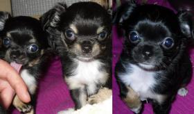 Chihuahua Welpen suchen NEUEN Kuschelplatz