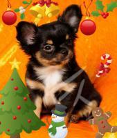 Foto 2 Chihuahua Welpen suchen NEUEN Kuschelplatz