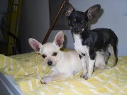 Chihuahua Welpen zu verkaufen