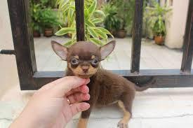 Foto 3 Chihuahua Welpen zu verkaufen