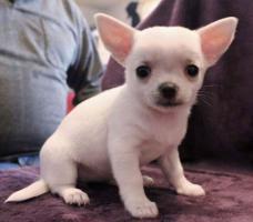 Foto 4 Chihuahua Welpen zu verkaufen