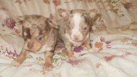 Chihuahua Welpen verschiedenen Farben