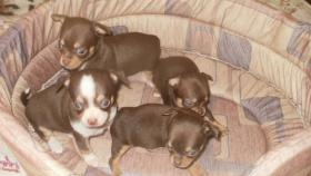 Foto 2 Chihuahua Welpen verschiedenen Farben