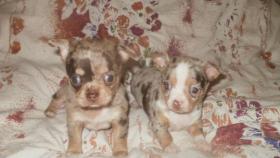 Foto 5 Chihuahua Welpen verschiedenen Farben