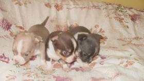 Foto 6 Chihuahua Welpen verschiedenen Farben