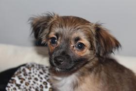Foto 2 Chihuahua Welpen, 11 Woche Alt