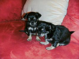 Chihuahua Weplen zu Verkaufen