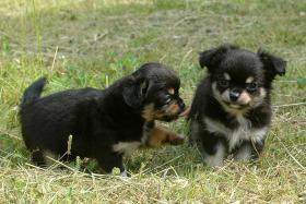 Foto 2 Chihuahua Zuchtreduzierung