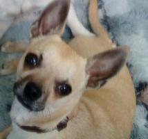 Chihuahua abzugeben!