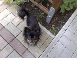 Foto 5 Chihuahua deckrüdengemeinschaft