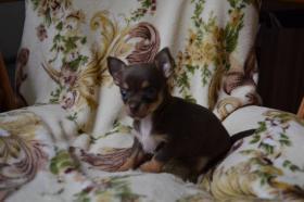 Foto 2 Chihuahua kurz- und langhaarig, verschiedene Farben