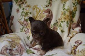 Foto 3 Chihuahua kurz- und langhaarig, verschiedene Farben