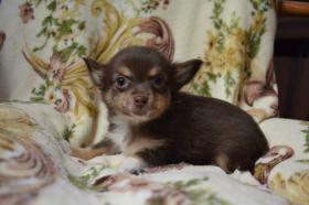 Foto 4 Chihuahua kurz- und langhaarig, verschiedene Farben