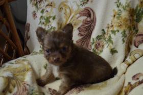 Foto 5 Chihuahua kurz- und langhaarig, verschiedene Farben