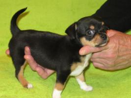 Foto 2 Chihuahua kurzhaar