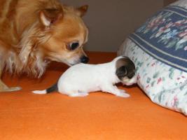 Foto 3 Chihuahua langhaar welpen