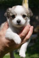 Foto 2 Chihuahua langhaar - schöne reinrassige Welpen