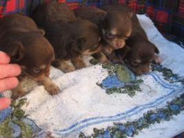 Foto 3 Chihuahua lila und schocko Welpen