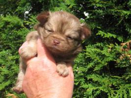 Foto 4 Chihuahua lila und schocko Welpen