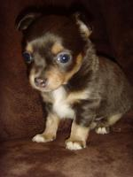 Foto 2 Chihuahua mini