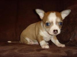 Foto 3 Chihuahua mini