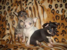 Foto 2 Chihuahua schöne Welpen