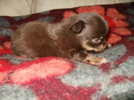 Foto 3 Chihuahua sch�ne Welpen