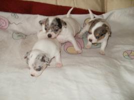 Foto 5 Chihuahua sch�ne Welpen