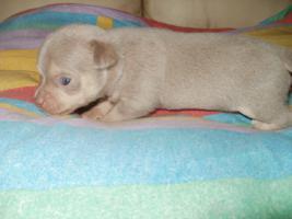 Foto 6 Chihuahua schöne Welpen