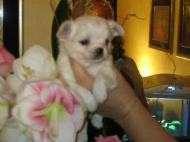 Foto 2 Chihuahua top litter