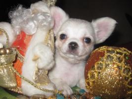 Foto 4 Chihuahua top litter