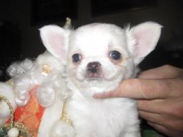 Foto 5 Chihuahua top litter