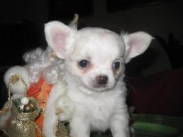Foto 6 Chihuahua top litter