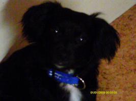 Foto 2 Chihuahua welpe 11 manate ein rüde