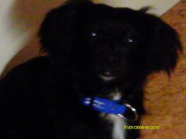Foto 3 Chihuahua welpe 11 manate ein rüde