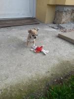 Chihuahua welpe mit FCI