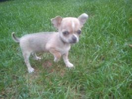 Foto 5 Chihuahua welpe mit FCI