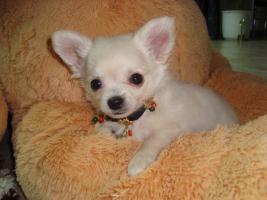 Foto 2 Chihuahua welpen