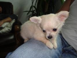 Foto 5 Chihuahua welpen