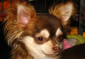ChihuahuaDECKRÜDE 1,8 kg schoko-rot-HUSKY mit Ahnentafel ZTP