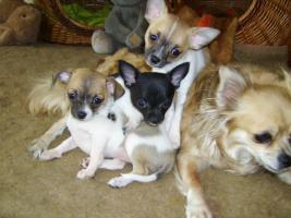 Foto 3 Chihuahua - Babys zu verkaufen !!!